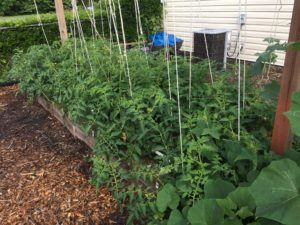 Photo of the mittleider garden trellises growing okra.