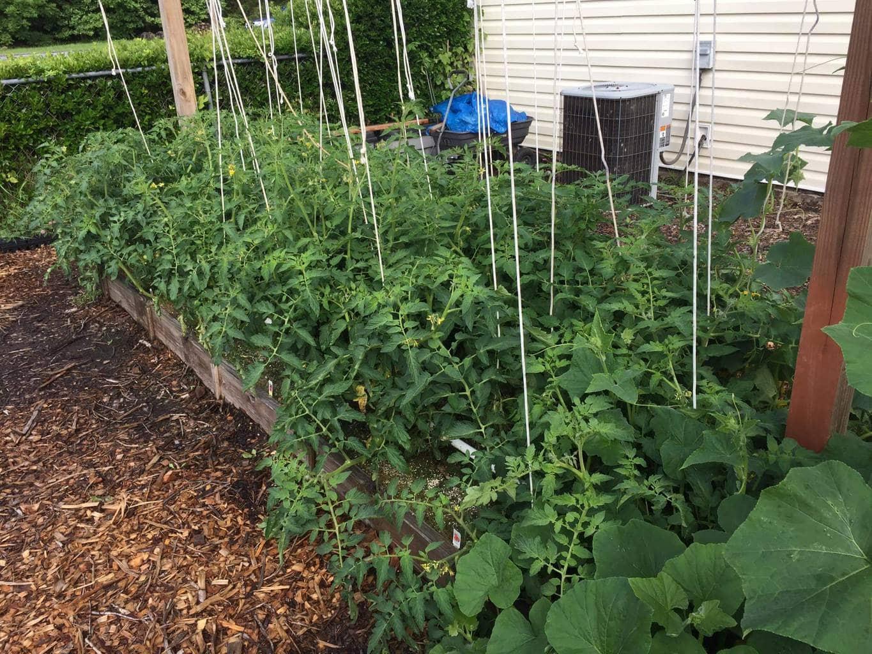 Photo of the mittleider garden trellises growing okra.